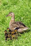 Mother duck and ducklings in the grass royalty free stock photography