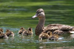 Mother duck with ducklings on lake. Mother duck ( mallard duck, anas platyrhynchos ) with ducklings swimming on lake surface Royalty Free Stock Image