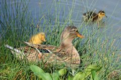 Mother duck and ducklings Stock Photography
