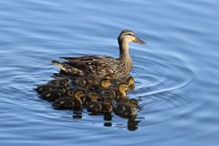 Mother Duck with Ducklings. A mother mallard duck swimming with her ducklings on a pond Royalty Free Stock Photos