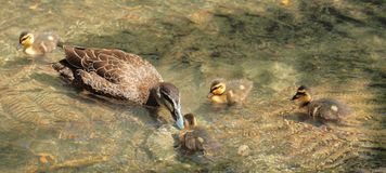 Mother Duck & Ducklings. A mother mallard duck tends to her ducklings royalty free stock photography