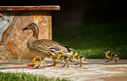 Mother Duck and Ducklings March Across Backyard Patio. Mother Mallard Duck and ducklings walk across patio in back yard image royalty free stock images