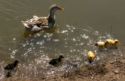 Mother duck with ducklings. Mother duck and ducklings cub bathe in the pond stock photography