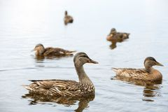 MOther duck and ducklings. Mother duck and her ducklings in a lake royalty free stock image