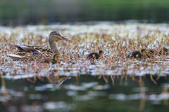Mother duck with ducklings. Nesting birds, birdwatching Stock Photography