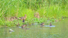 Mother duck with ducklings. Duck with small ducklings on coast of lake royalty free stock photography