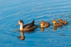 Mother Duck and Ducklings. A mother duck swimming with her ducklings Royalty Free Stock Photos
