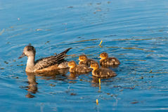Mother Duck and Ducklings Stock Images