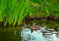 Mother duck with ducklings. Swimming on lake surface Royalty Free Stock Photography