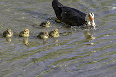 Mother duck with ducklings. Mother duck with 5 ducklings swimming in a pond with blank area on the bottom stock photography
