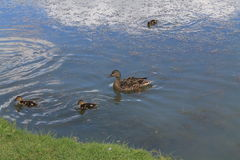 Mother duck and ducklings Royalty Free Stock Photography