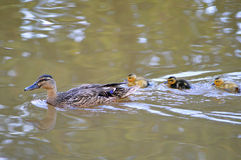 Mother Duck and Ducklings. Mother Duck and three ducklings swimming on a lake stock photography