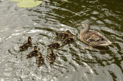 Mother duck and ducklings in the water. A mother mallard and seven ducklings are swimming in the water. Around them are wavelets of their traces on the water Stock Photos