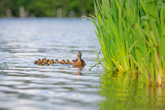 Mother Duck With Ducklings On Water By Reeds. A mother mallard duck with her nine ducklings on the water beside her in a row. Pictured at Whitlingham Lake in Royalty Free Stock Images