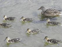 Duck family outing. Mother duck escorting her babies on their training swim, learning to feed themselves stock photography