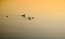Mother Duck and Family in Early Morning Swim. A family of duck out for an early morning swim. The water is reflecting the warm light of the early morning sun Royalty Free Stock Photography