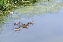 Mother duck and five young are swimming in the reed. Stock Images