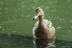 Mother-duck Stock Photography
