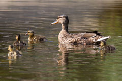 Mother duck with four ducklings Stock Photography