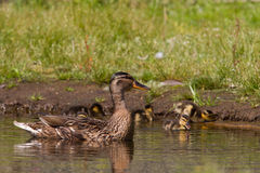 Mother duck guarding ducklings Royalty Free Stock Photo