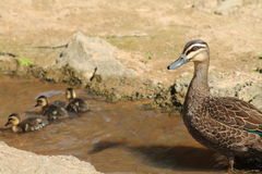 Mother Duck Guarding Ducklings Stock Photography