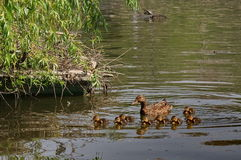 Mother duck with her babies. Spring background Royalty Free Stock Photography