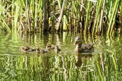 Mother Duck and her Babies. Mother mallard duck keeps her baby ducks close in the water Stock Photos
