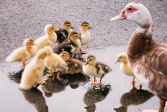 Mother Duck with her Baby Ducklings. A mother duck and her baby ducklings are enjoying a puddle in a parking lot after a rainstorm royalty free stock photo