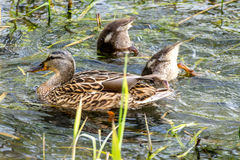 Mother duck with her brood. In a lake Royalty Free Stock Image