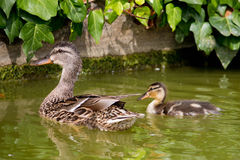 Mother duck with her duckling Royalty Free Stock Image