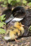 Mother duck with her duckling. A Mother duck with her duckling Stock Images