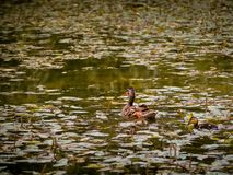 Mother duck and her duckling in a pond. Sunset Stock Photos