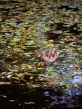 Mother duck with her duckling swimming. In the pond Stock Image