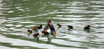 Mother duck with her ducklings. Ducklings with their mother stock image