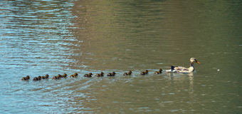 Mother duck with her ducklings. Crossing the lake stock photography