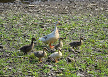A Mother Duck and Her Ducklings. A family of domesticated ducks standing alongside a river Stock Image
