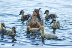 A Mother Duck and Her Ducklings. A family of domesticated ducks swimming in a river Stock Photo