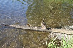 A mother duck and her ducklings. Standing on a log on the edge of a lake royalty free stock image