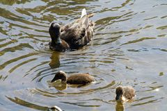 A mother duck and her ducklings. Swimming in a lake on a sunny day stock photography