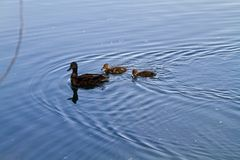 A mother duck and her ducklings. Swimming in a lake on a sunny day royalty free stock images