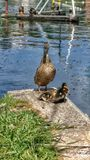 Mother Duck with her ducklings. A mother duck looking out for her little ducklings near a river stock photography