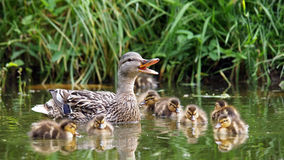 Mother duck with her ducklings Royalty Free Stock Images