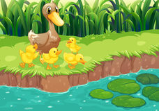A mother duck with her ducklings at the river Royalty Free Stock Photo