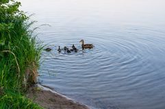 Duck family near water. Mother duck with her ducklings at the shore of lake Royalty Free Stock Photo