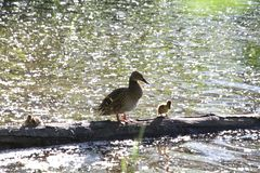 A mother duck and her ducklings sitting on a log. In a lake on a sunny day royalty free stock photo