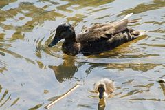 A mother duck and her ducklings. Swimming in a lake on a sunny day royalty free stock photos