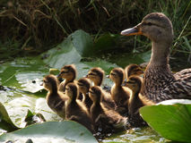 Mother duck with her ducklings. In the water Royalty Free Stock Photography