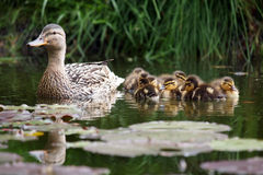 Mother duck with her ducklings. In the water Stock Photos