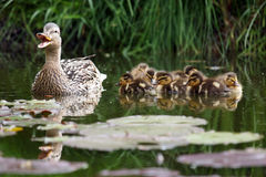 Mother duck with her ducklings. In the water Stock Image