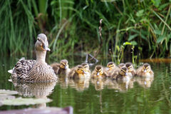 Mother duck with her ducklings. In the water Royalty Free Stock Photos